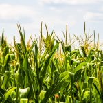 corn widely produced grain